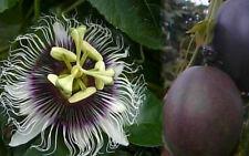 Passiflora Edulis - Possum Purple - Plant - Purple Passion Fruit Plant - Edible