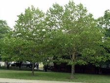 100 American Sycamore Tree Seeds, Platanus occidentalis, Free Shipping