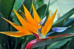 Seeds Bird of Paradise Crane Flowers Strelitzia Garden Cut Heirloom Ukraine