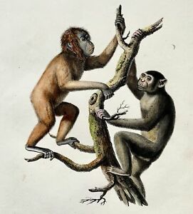 1824 Orangutan Chimpanzee  K. Brodtmann ORIGINAL handcol FOLIO stone lithography