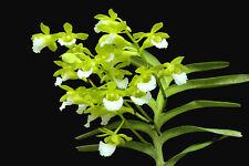 Christensonia vienamica, (orchid specie