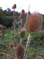WILD FLOWER WILD TEASEL 2 GRAM APPROX 500 SEEDS DIPSACUS FULLONUM