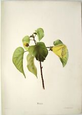 "Antique Hawaii Botanical Print: Hawaii Native Flower ""THE MILO"": London, 1885"