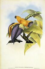 "1990 Vintage HUMMINGBIRD #54 ""SOMBRE HUMMING BIRD"" GOULD COLOR Art Lithograph"
