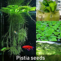 50Pcs Dichondra Pistia Seeds Garden Pond Aquatic Plant Pool Aquarium Tank NEW