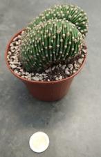 Echinopsis tipo tubiflorale cristata