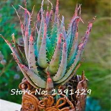Rare Snake Aloe Vera Seeds Rainbow Aloe Vera Plant Herbal Succulent