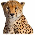 The Speedy Cheetah