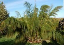 Elegia Capensis , Giant grass/bamboo! Tropical hardy plant! fresh seeds