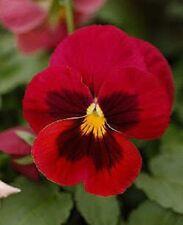 50 RED & BROWN PANSY VIOLA Violet Flower Seeds + Gift & Comb S/H