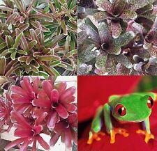 BROMELIAD Neoregelia Terrarium Vivarium Dart Frog Wholesale 4 Pack 4 Varieties