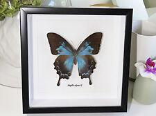Dunk Island Australian Framed real butterfly Papilio ulysses female BJPUFLA