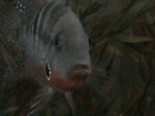 """4 Firemouth Cichlids """" Thorichthys Meekie """" Live Freshwater Tropical Fish 1in.+"""