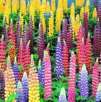 100 X Mixed Russell Lupine Seeds Lupinus Beautiful Polyphyllus Flower Garden Hot