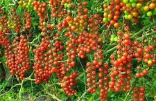Red Cherry Tomato! 20 Seeds!  OVER 200 KINDS OF TOMATOES IN OUR STORE! COMB S/H