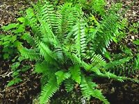 9 *Christmas Fern*  Premium Native Woodland Perrennial Bare Root