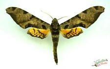 Protambulyx Eurycles Véritable Hawk Moth Ensemble x1 Un- Sphingidae Insect