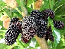 Schwarzer Maulbeer Baum höche Pflanze 140cm MR03 Dünger Gratis