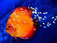 DISCUS FISH OCEAN SEA PHOTO ART PRINT POSTER PICTURE BMP2338A