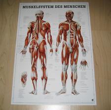 NEU Anatomie / Physiotherapie Lehr Poster Das Muskelsystem des Menschen