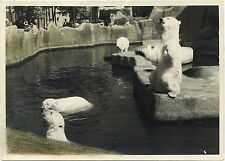 PHOTO VINTAGE 1900 : OURS POLAIRE ZOO DE VINCENNES - TIRAGE N&B REHAUSSE COULEUR