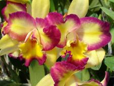 "Pot. Shin Shang Diamond 'Tai-Young #1' Cattleya Orchid Plant 4"" Pot Bs"