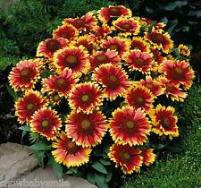 350 Gaillardia aristata Seeds Blanket Flower Pulchella Garden Perennial Heirloom