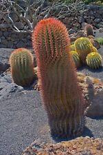 MEXICAN FIRE BARREL CACTUS (Ferocactus stainesii) 10 seeds
