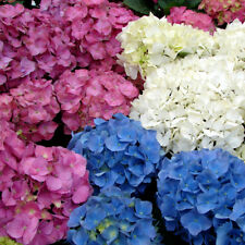 10+ Hydrangea Mix / Long Lasting Perennial Flower Seeds