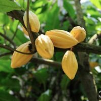 Cacao Cocoa Chocolate Tropical LIVE    BIGTREE