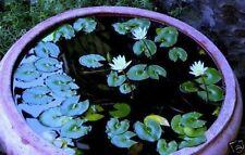 Weiße Zwergseerose Teichpflanze Pflanzen Dekoideen für den Teich Teichpflanzen