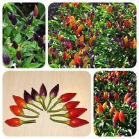Numex Twilight bunte Chili mittelscharfe Chilli prima als Zimmerpflanze