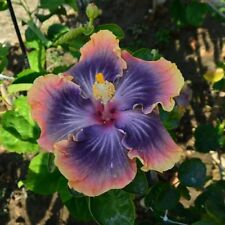 10 Rare Purple Blue Pink Hibiscus Seeds Giant Dinner Plate Flower Garden