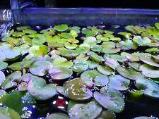 Amazon Frogbit(Limnobium Laevigatum) 10+ pieces