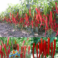 10PCS Giant Spices Red Spicy Chili Pepper Seeds Chilli Plant Fresh Seeds Rare