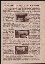 Vaches Cows Cheptel Bovins Bull Taureau Charolais France 1919 ILLUSTRATION