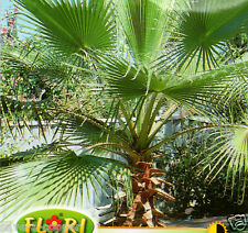 WASHINGTON PALM - WASHINGTONIA FILIFERA - EXOTIC PLANT - 9 QUALITY SEEDS /1332