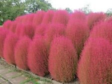 KOCHIA SCOPARIA burning bush 250 seeds Exotic * Ornamental * easy grow * CombSH