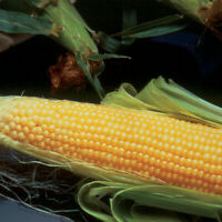 (569)  QUALITY  gold sweet corn incredible f1  seeds -garden Vegetable