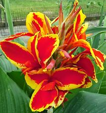 Lucifer Canna Lily Large Rhizome; Bright Red Yellow edge; Gorgeous!