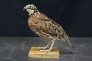Taxidermy-hunting-chasse-präparat- Northern Bobwhite with permit