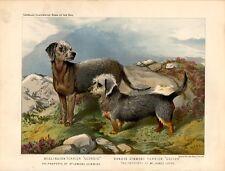 Print Ancient Dogs Bedlington Terrier Dandie Dinmont Terrier 1879 Old print dogs
