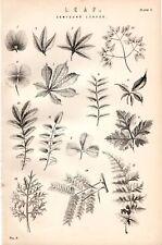 1880 Imprimé ~ Botany Composé Feuilles 15 Images
