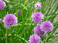 (10) Organically Grown Chives / Culinary Herb