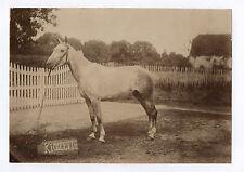 PHOTO ANCIENNE Animal Cheval de course Rigolette Profil Équitation Vers 1900