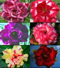 "NEW! Adenium Obesum Desert Rose ""Mixed"" 6 Grafted Plants 6 Types!"