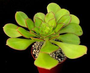 Aeonium 'Red Edge' | Hybrid | Surreal Succulents