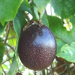 15+Purple Passion fruit(Passiflora edulis)Vine passion flower seeds USA