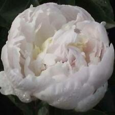PEONY PLANT BARONESSA (NOT SEEDS) WITH 2-3 EYES!