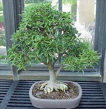 """3 (5""""+) Ficus Salicifolia"""